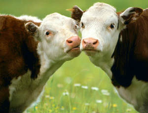 В Зауралье увеличилось производство мясного скота / Ожидается рост других показателей