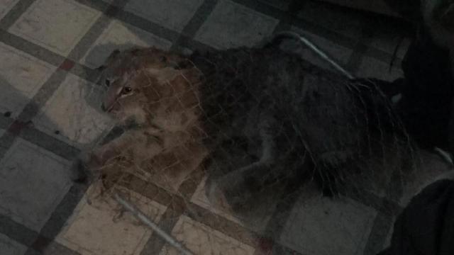 Новый День: В Серове отпустили на свободу рысь, пойманную в черте города (ФОТО)